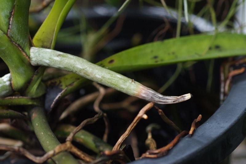 Vanda root rot-2
