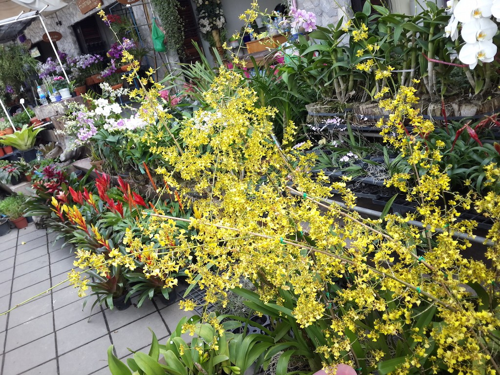 A huge oncidium at the Siam Orchid Centre